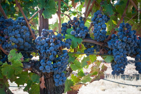 Grapes are full and ready for picking at the vineyard