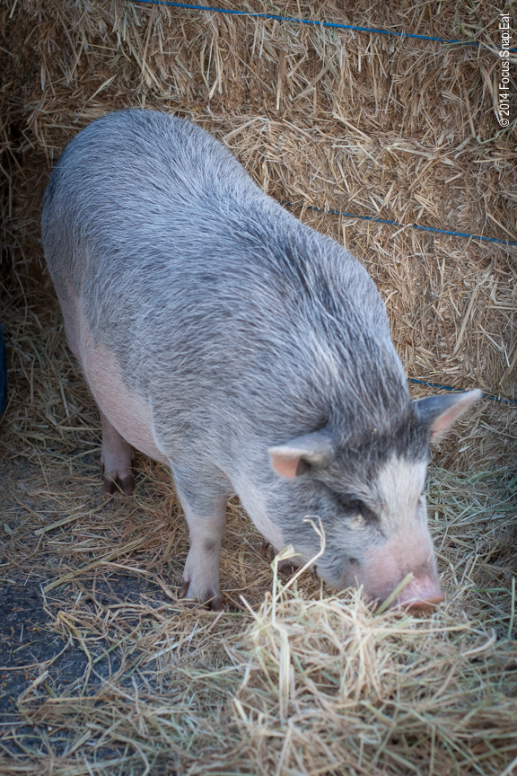 This is a picture of a pig at the Rockridge street festival. Nothing really spectacular about the photography, simply pointing and shooting. But I had never seen a pig with such a nice grey coat against that pinkish belly. They really are so cute, huh?